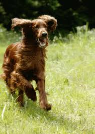 Red setter running - Animal magic article by Catriona Murray